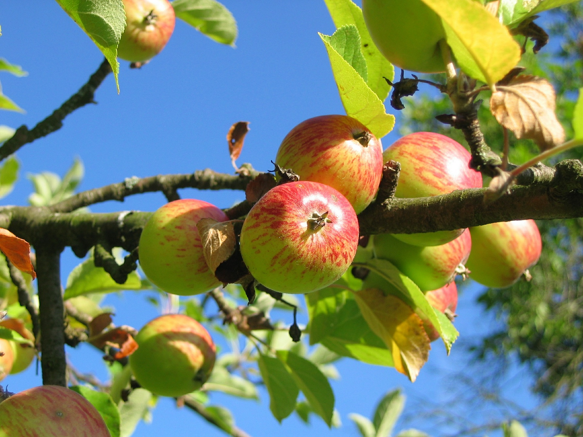 Apple Cider Vinegar: Said To Be Nature's Most Perfect Food